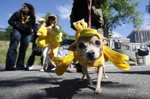 A dog dressed up on Duckling Day 2010