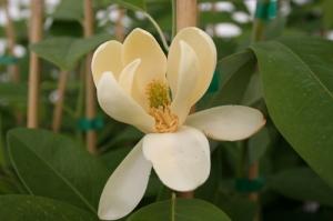 "Magnolia Virginiana ""Moon Glow"" flower"