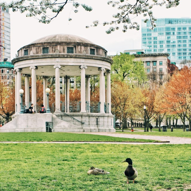 Two ducks enjoy a quiet day at the Parkman Bandstand on Boston Common. On Sunday, May 11 they will be joined by hundreds of people who will be on hand to celebrate Duckling Day.