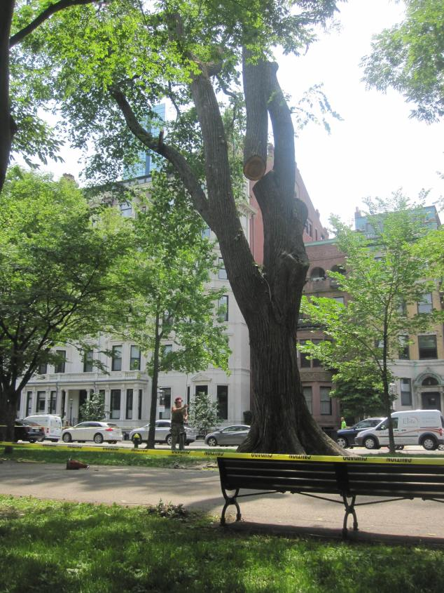 American Elm removal Commonwealth Avenue Mall June 17, 2014
