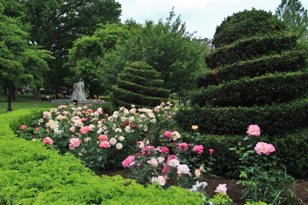 The roses in the Public Garden are cared for by the Friends of the Public Garden Rose Brigade, in collaboration with the Boston Parks and Recreation Department