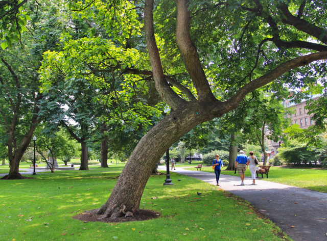 PublicGarden_tree_slanted_over_path_EJ